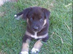 australian shepherd german shepherd mix shepherd husky lab mix i need i want soooo bad that u0027s me