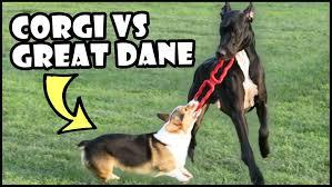 Great Dane Meme - corgi vs great dane short vs tall dogs youtube