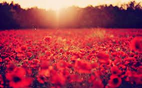 poppy flower field wallpaper background 7702 2560x1600 umad com
