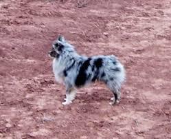 australian shepherd and poodle toy australian shepherd poodle dog puppy breeder miniature
