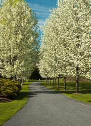 your go to guide for taking care of ornamental pear trees