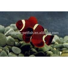 live ornamental tropical freshwater nemo fish buy nemo fish