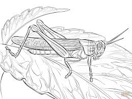 rocky mountain locust coloring page free printable coloring pages