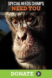 Chimp Meme - meet clay a special needs chimp save the chimps