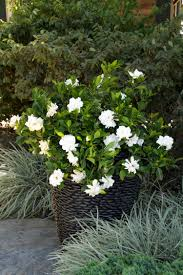 august beauty gardenia grafted monrovia august beauty