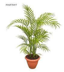 areca palm tree dypsis lutescens the ornamental plant store