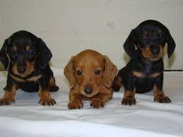 Mini Dachshund Halloween Costumes Newborn Miniature Dachshund Puppies Miniature Dachshund Puppies