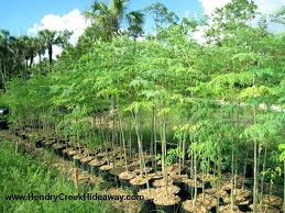 moringa miracle tree of tropical plant but possible to