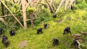 student resource chimpanzee behaviour for learning or teaching