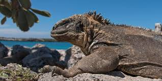 iguana island bbc earth there is a hidden iguana on the galápagos and nobody