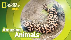 gila monster amazing animals youtube