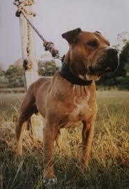 american pitbull terrier kingfish bloodline 92 best game real pitbulls images on pinterest game bulldogs