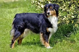 australian shepherd shedding u0027s dog blog 25 tricolor dog breeds