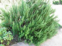 rosemary plant varieties different types of rosemary to grow in