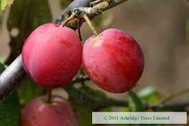 plum trees buy ashridge nurseries