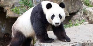 giant panda facts adelaide zoo