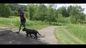 belgian malinois in ohio best dog training in columbus ohio 8 month old labrador