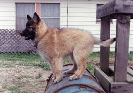 belgian shepherd victoria tribute and memorial to the search and rescue dogs of 9 11 words