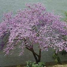 cercis canadensis eastern redbud or canadian redbud excellent