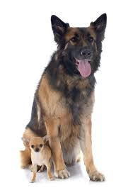 australian shepherd mixed with chihuahua can a chihuahua mate with a shepherd dog care the daily puppy