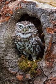 725 best owls images on animals owl and beautiful birds
