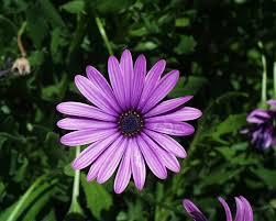 Daisy The Flower - top 25 best daisy flower pictures ideas on pinterest daisy