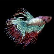 spirit halloween jacksonville nc betta fish buy live betta fish for sale petco