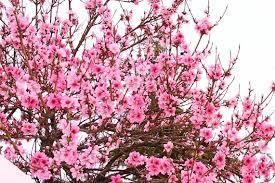 flowering redbud tree spring 2011 the curmudgeonly professor