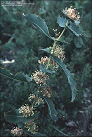 44 best hakeas images on pinterest native plants australian