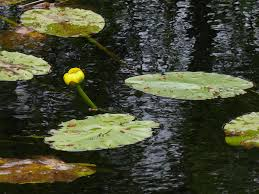 native plants ohio water lilies ohio birds and biodiversity