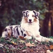 australian shepherd york how to raise an australian shepherd
