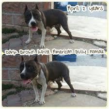 american pitbull terrier 7 months pit bull terrier dog sold 5 years 7 months dark brown white