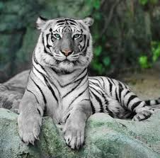 White Tiger Shower Curtain 39 Best Big Cats Images On Pinterest Big Cats And Trips
