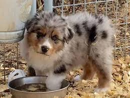australian shepherd breeders puppies u2013 jailhouse aussies u2013 australian shepherd puppies for sale