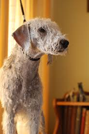 bedlington terrier shaved what can you learn from a pet groomer u2013 casey kerries from the
