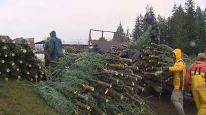 christmas trees could be 5 10 more expensive this year king5 com