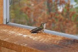 Scare Birds Away From Patio by Hummingbird In The House Get Them Out Safely
