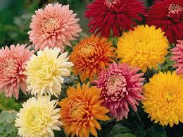 belle fiori u0027s october plant of the month the chrysanthemum belle