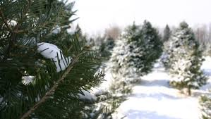 on a hunt for a christmas tree how to cut your own for only 5
