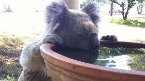 koalas don u0027t water u0027re u0027driven drink u0027