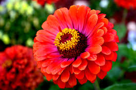 Zinnia Flowers Free Picture Red Zinnia Flower Reddish Flowers