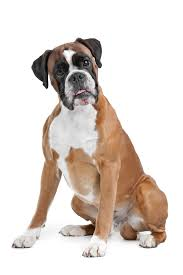 boxer boxer dog breed bio from alldogboots