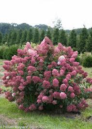 Plants That Need Low Light by Fire Light Panicle Hydrangea Hydrangea Paniculata Proven