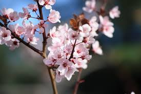 pink blossoms on plum tree picture free photograph photos