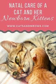 post natal care of a cat and her newborn kittens cats and meows