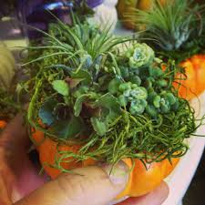 succulent u0026 tillandsia pumpkin planters sloat garden center