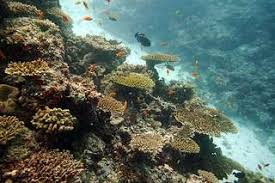island plate corals hit hard by disease