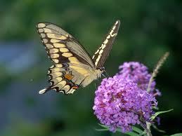 new study massachusetts butterflies responding to climate change