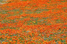 poppy blooms provide flower power in california toplife