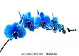 blue orchids blue orchid isolated stock images royalty free images vectors